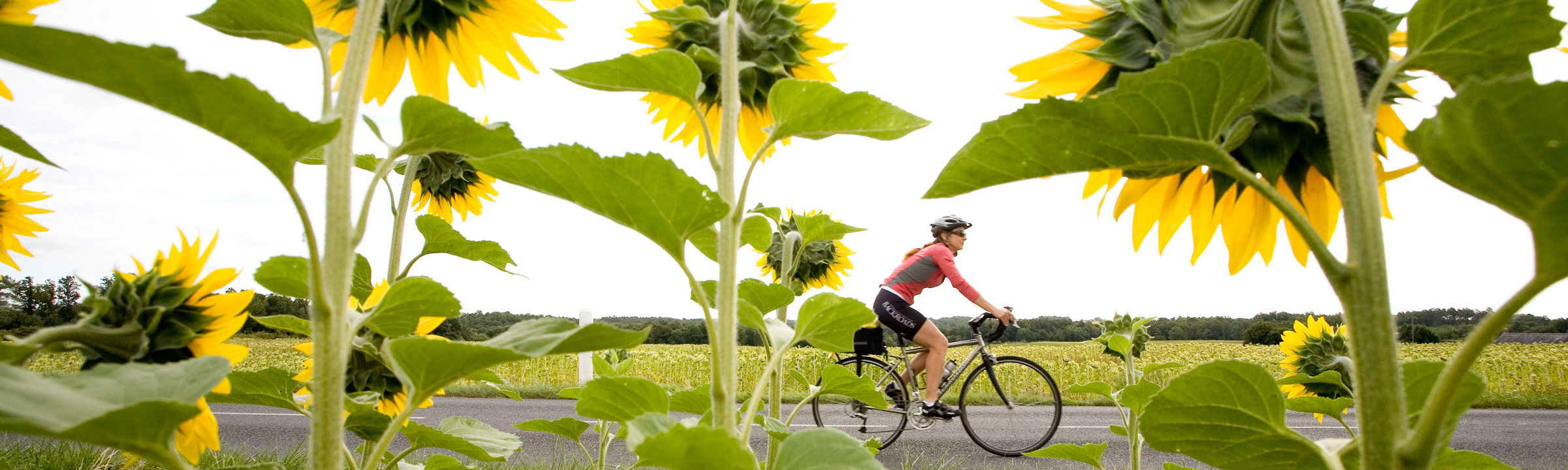 Biking past sunflower field on our Loire Valley Bicycle Tour